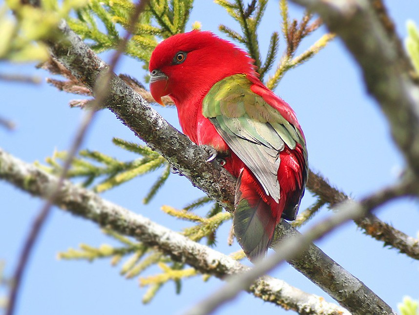 Chattering Lory - James Eaton