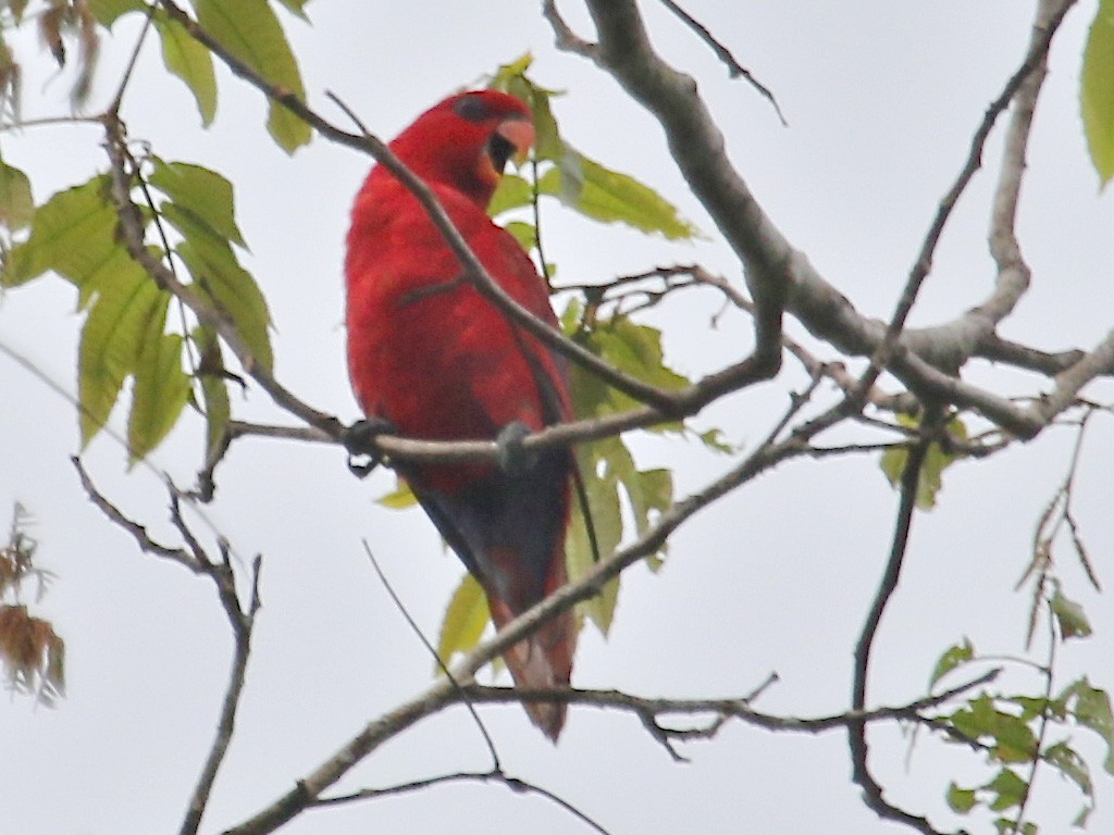 Red Lory - Gil Ewing