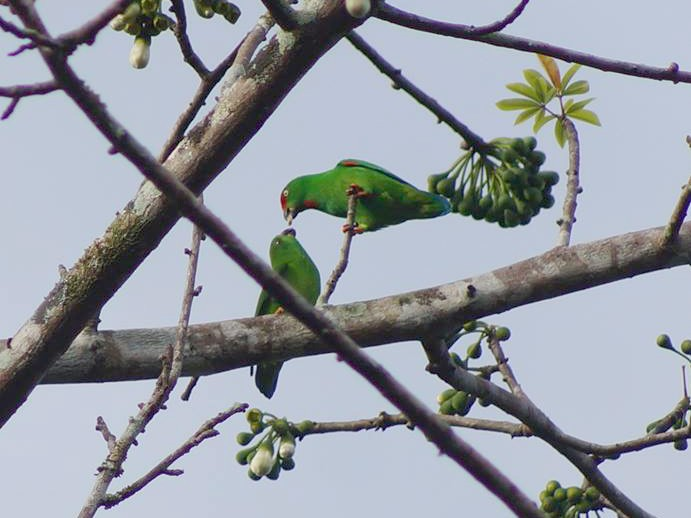 Sulawesi Hanging-Parrot - Opwall Indonesia