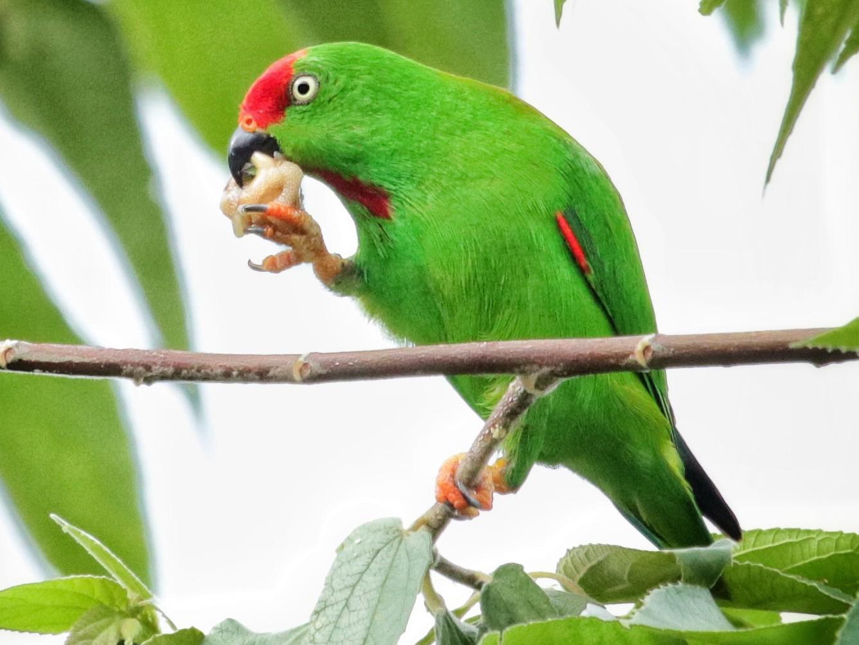 Serindit Sulawesi Ebird
