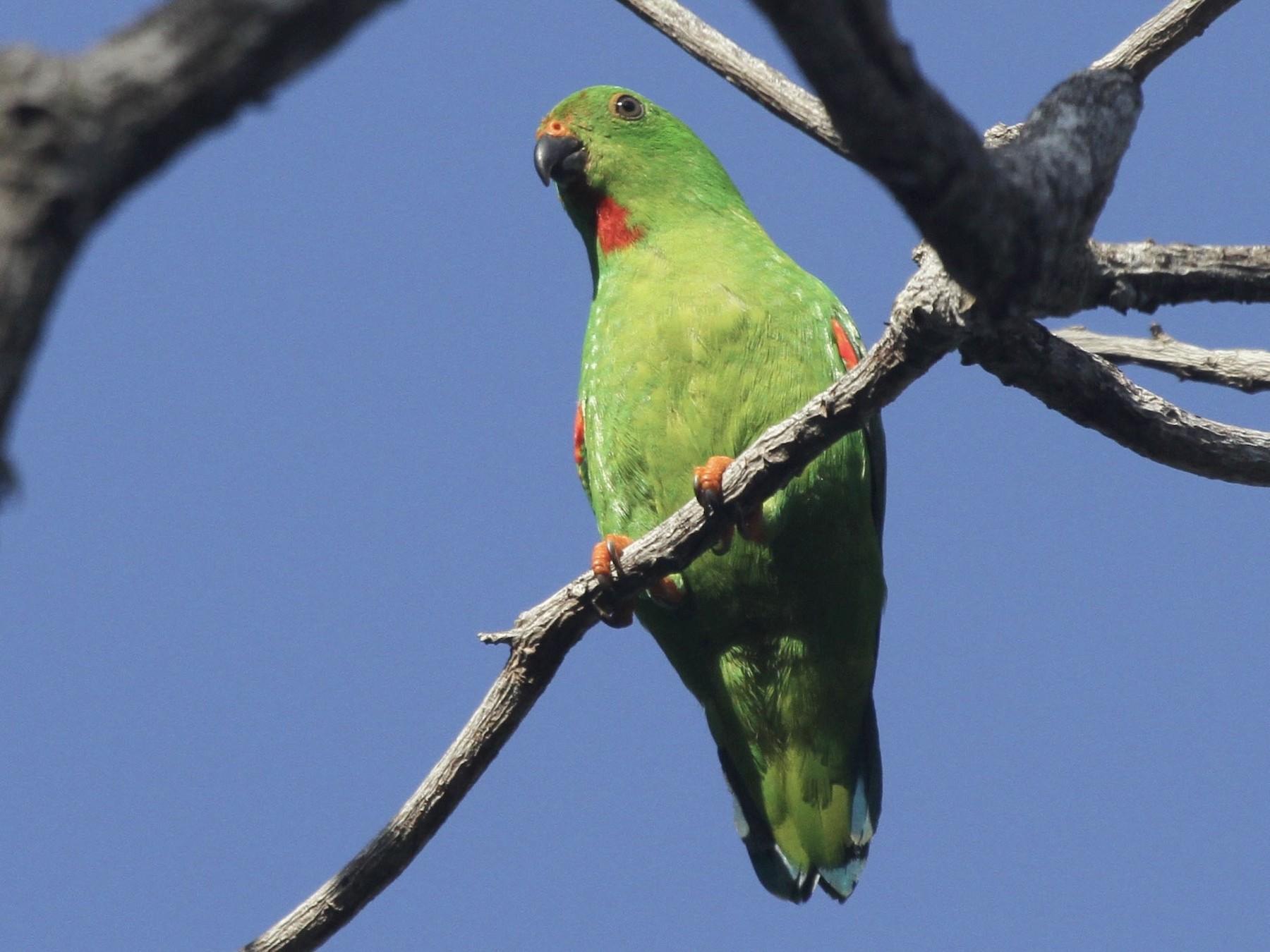 Sulawesi Hanging-Parrot - Juan martinez