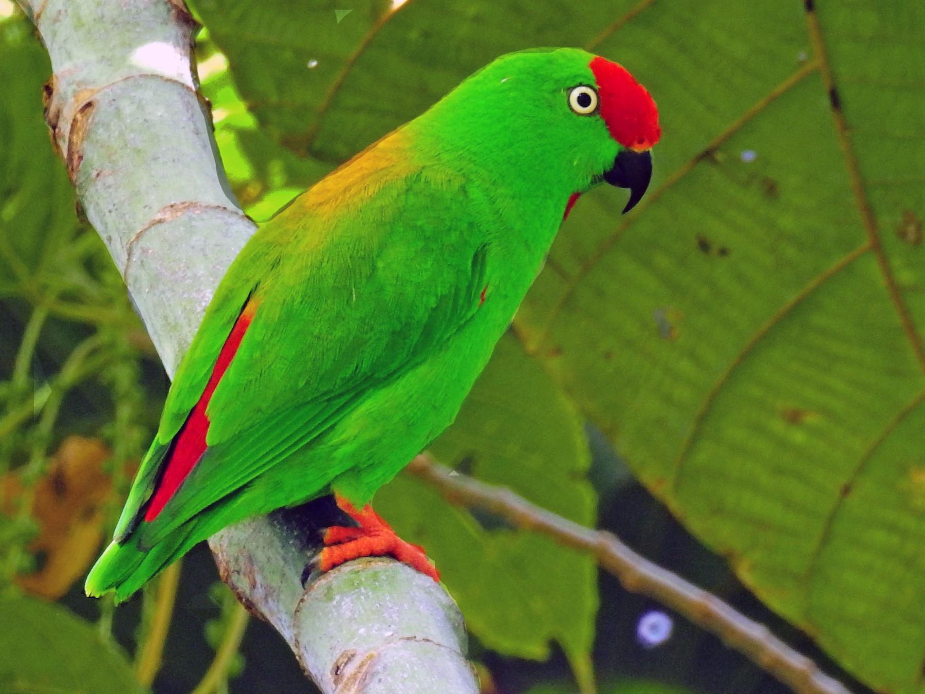 Sulawesi Hanging-Parrot - Panji Gusti Akbar