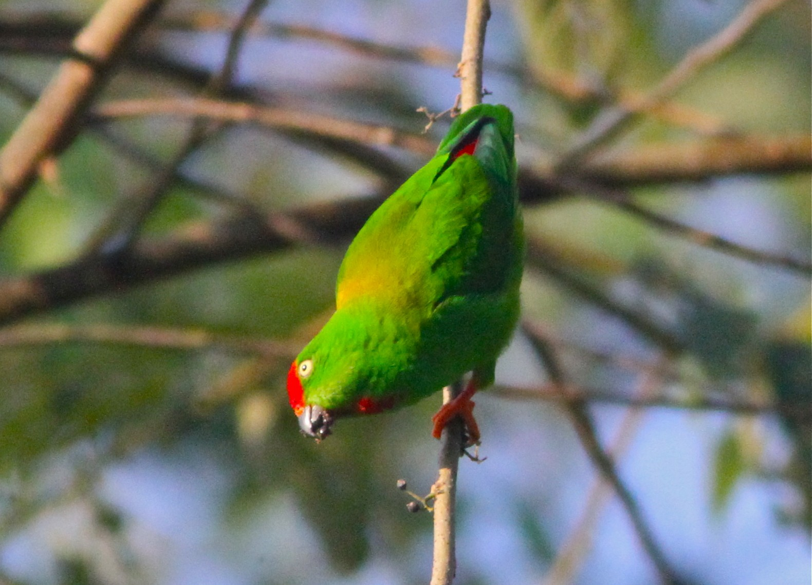 Sulawesi Hanging-Parrot - Don Roberson
