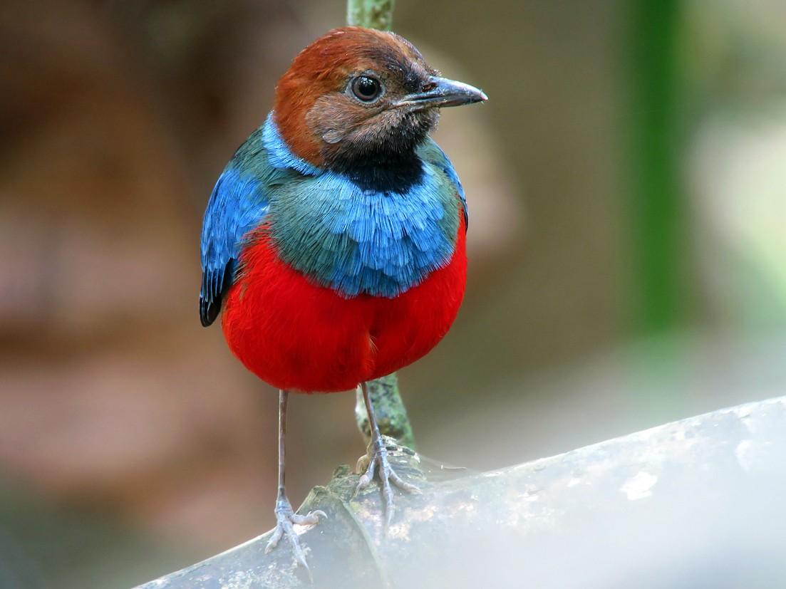 Blue-breasted Pitta - Wayne Gillatt