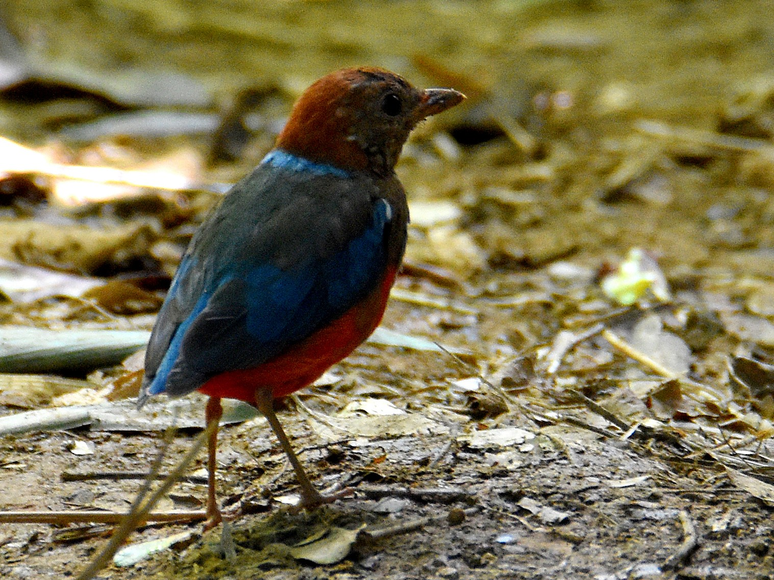 Blue-breasted Pitta - Chris Chafer