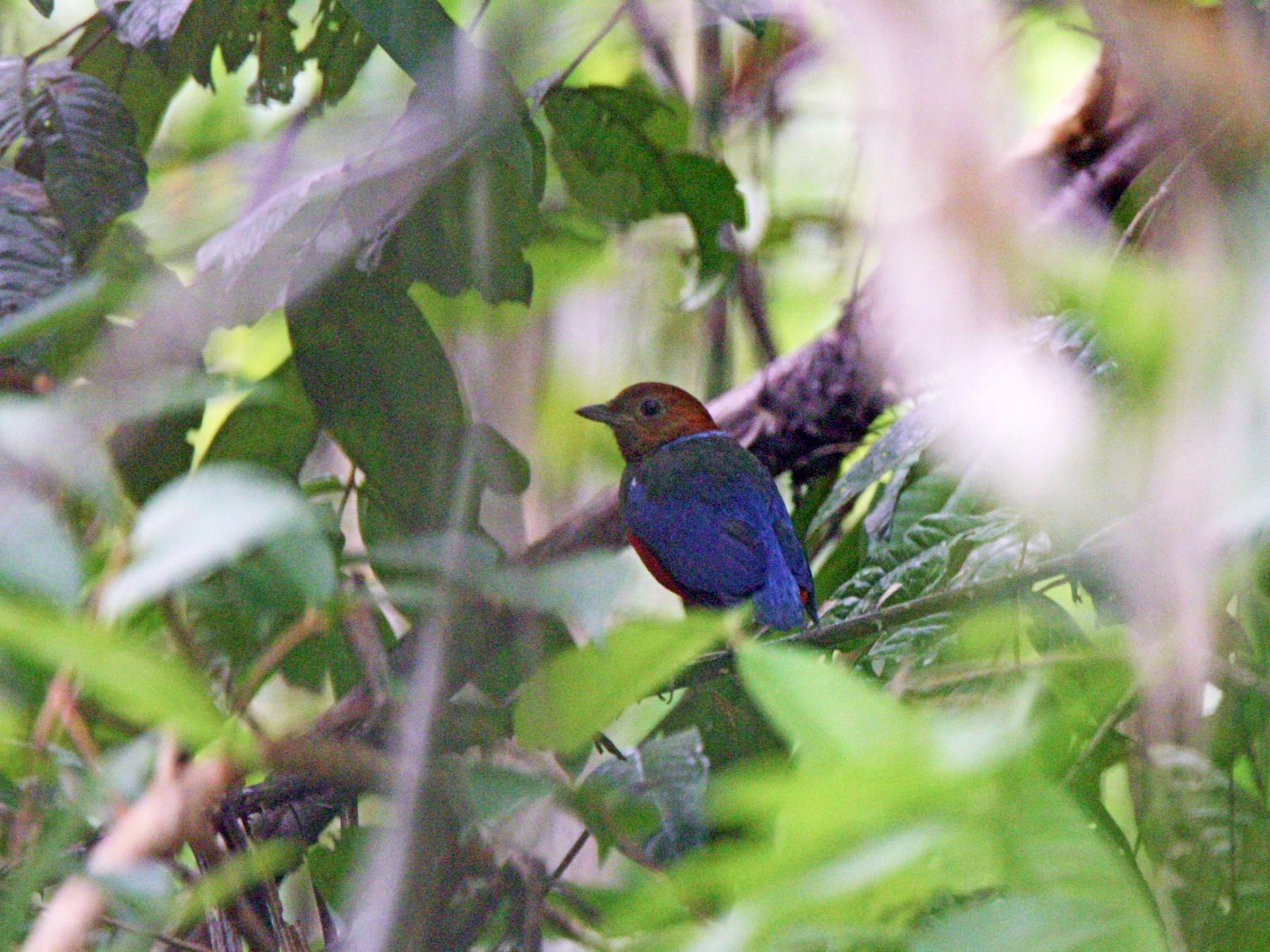 Blue-breasted Pitta - Kuang-Ping Yu