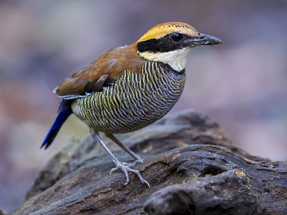 Javan Banded-Pitta - Laurie Ross   Tracks Birding & Photography Tours