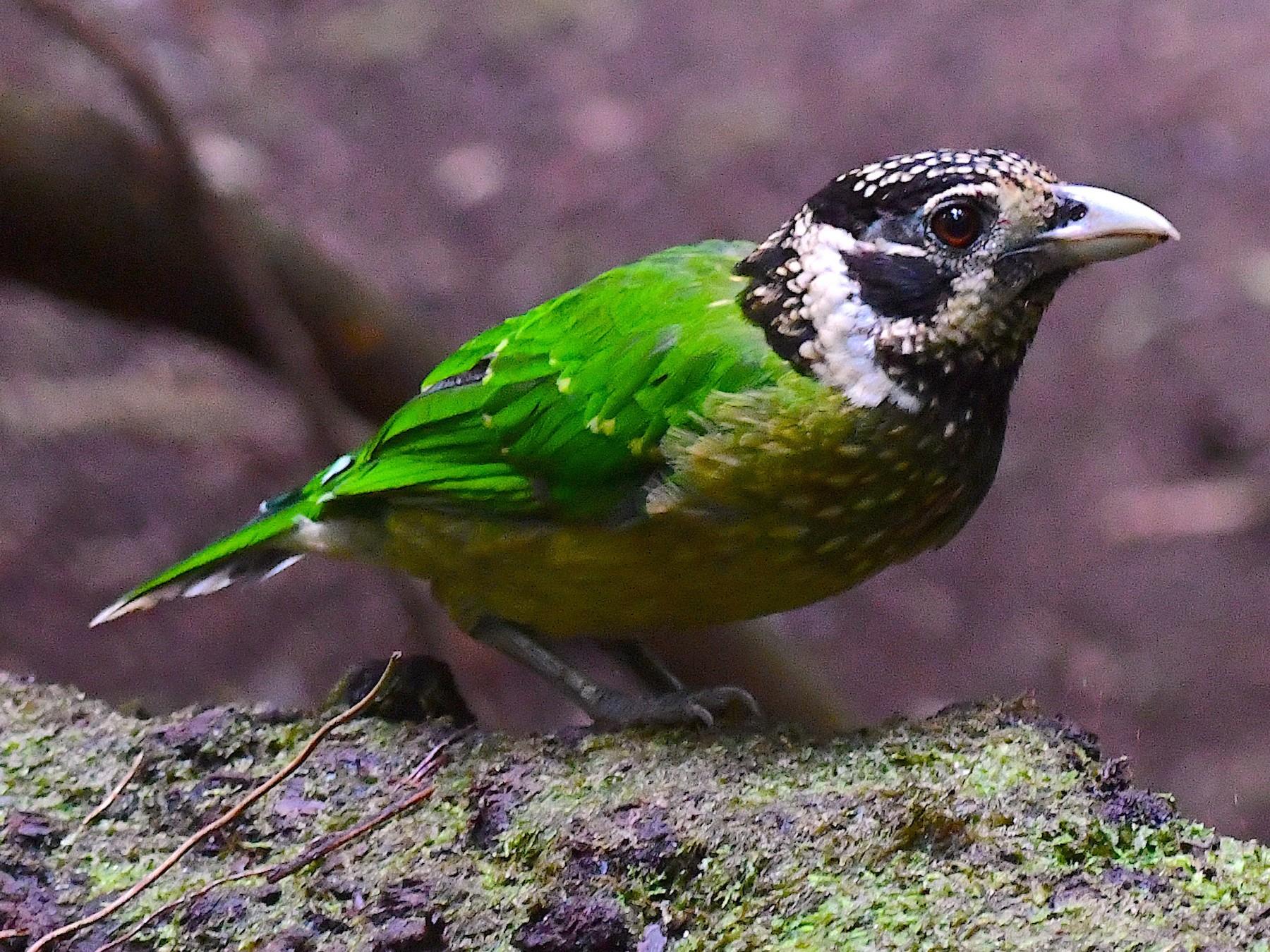 Arfak Catbird - Arco Huang