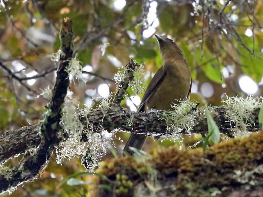 Vogelkop Bowerbird - Nigel Voaden