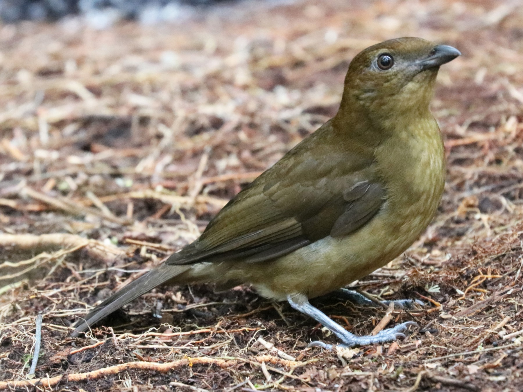 Vogelkop Bowerbird - John Bruin