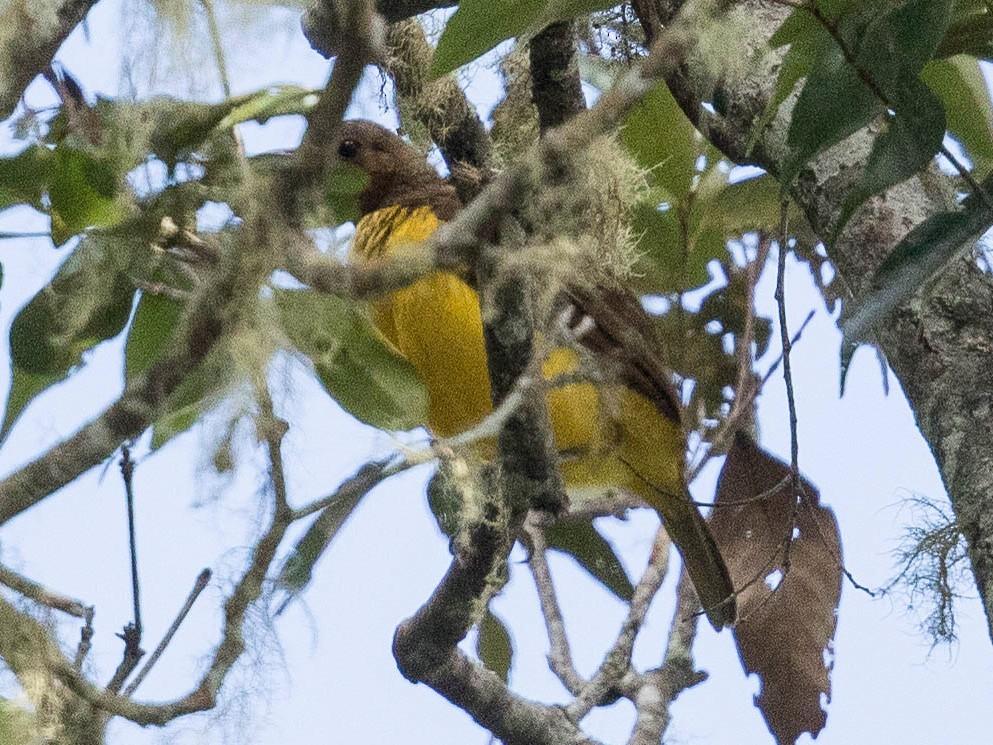 Masked Bowerbird - Eric VanderWerf