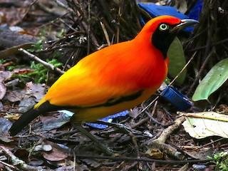 - Masked Bowerbird