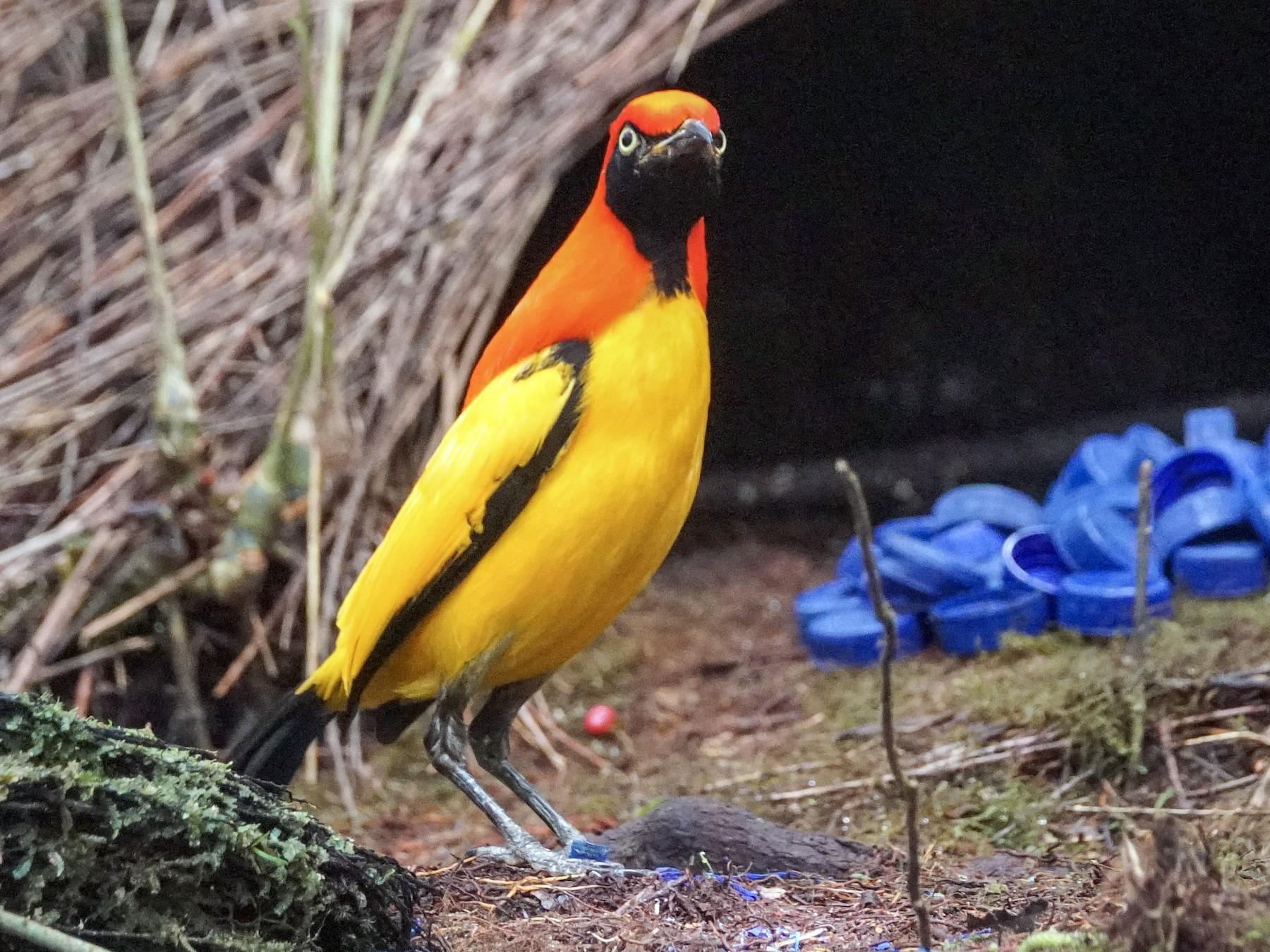 Masked Bowerbird - Arco Huang