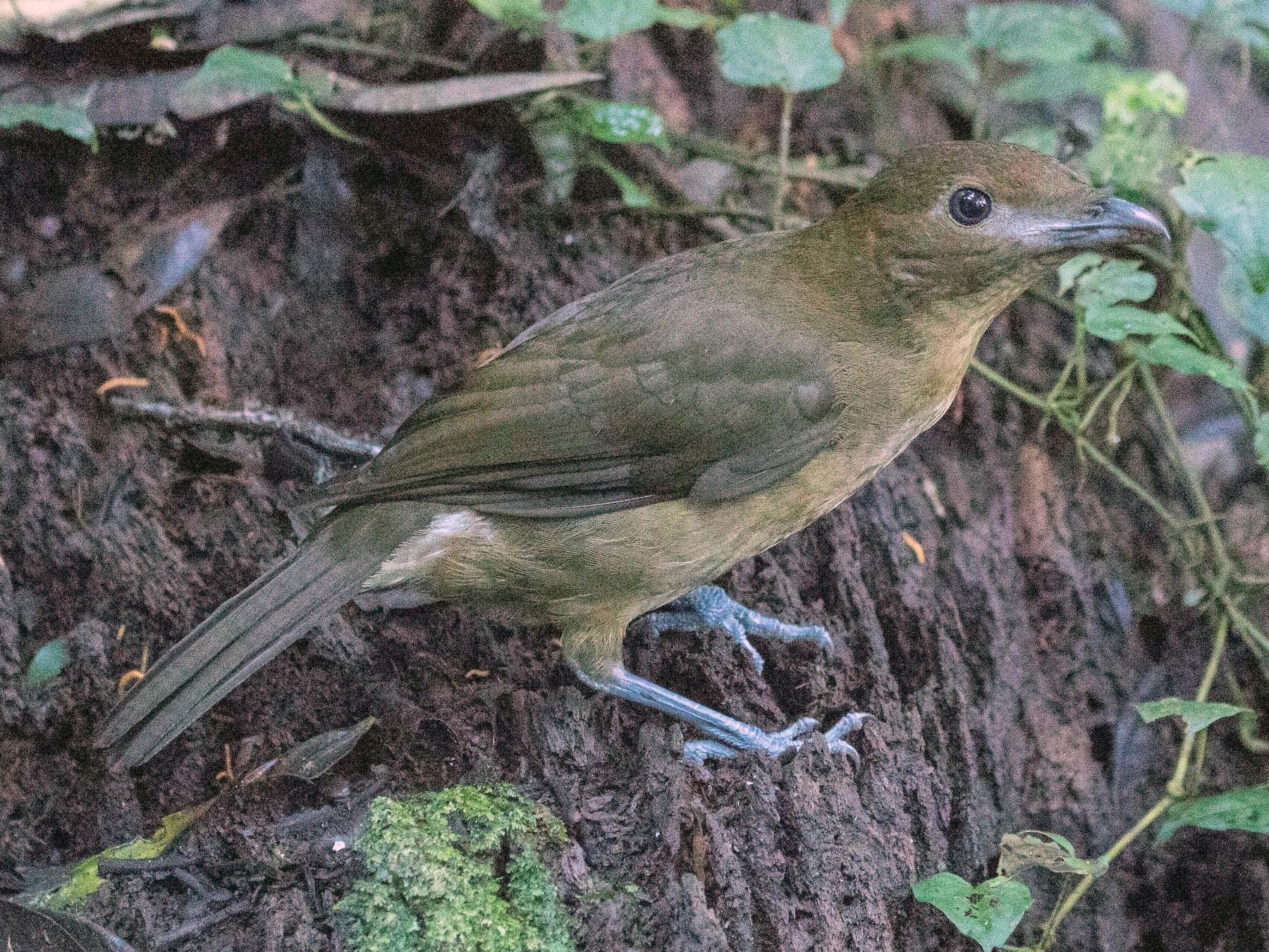 Vogelkop Bowerbird - Eric VanderWerf