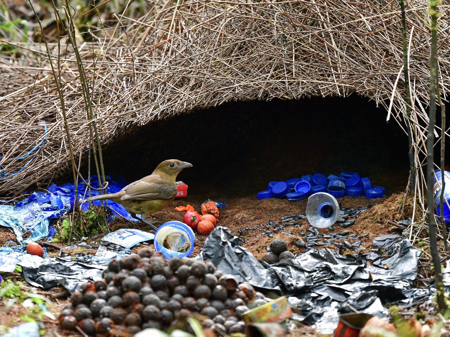 Vogelkop Bowerbird - Arco Huang