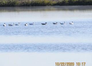 Snow Goose, ML273480891
