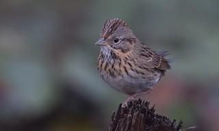 - Lincoln's Sparrow