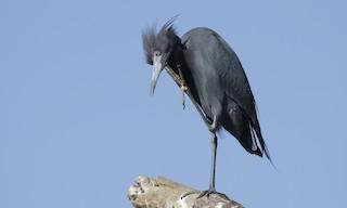 - Little Blue Heron