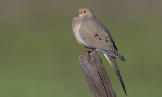 - Mourning Dove