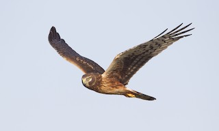 - Northern Harrier