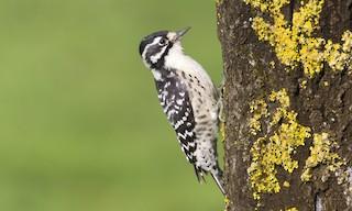 - Nuttall's Woodpecker