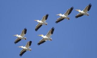 - American White Pelican