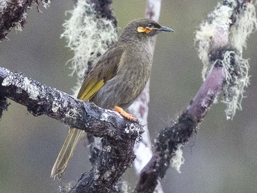 Orange-cheeked Honeyeater - Eric VanderWerf