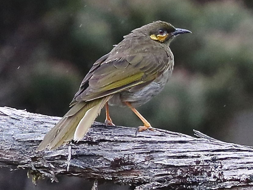 Orange-cheeked Honeyeater - Mark Sutton