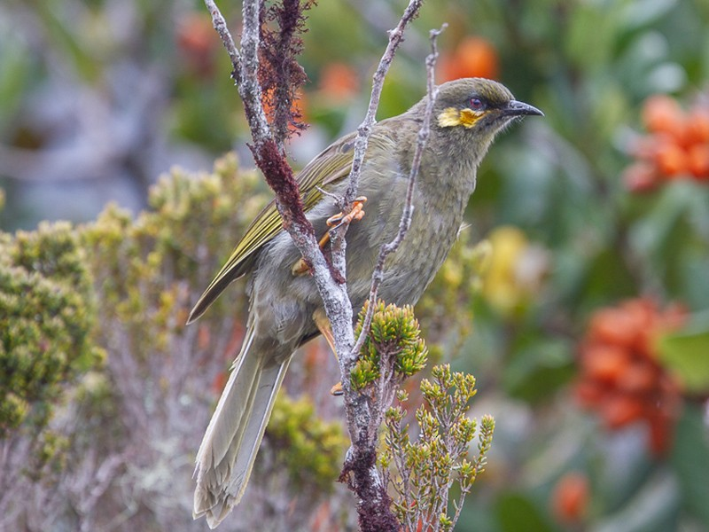 Orange-cheeked Honeyeater - Susan Myers