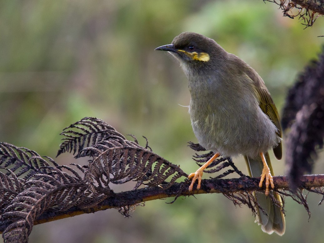 Orange-cheeked Honeyeater - Lars Petersson