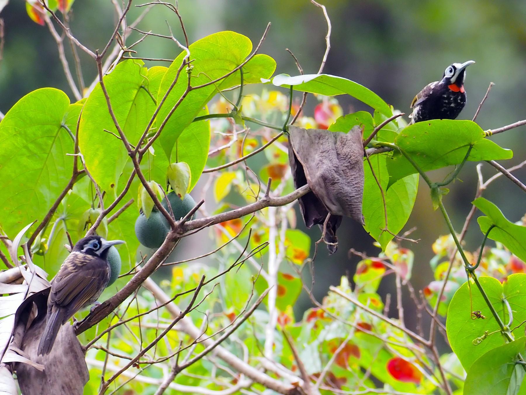 Vogelkop Melidectes - Arco Huang