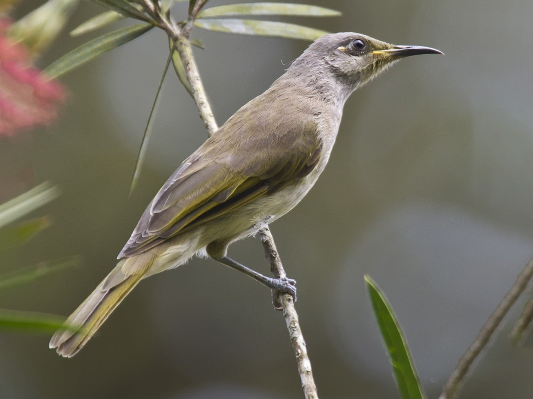 Indonesian Honeyeater - Mat Gilfedder