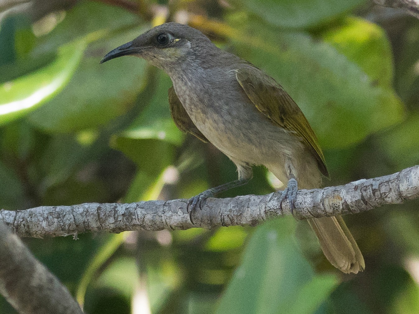 Indonesian Honeyeater - Markus Craig