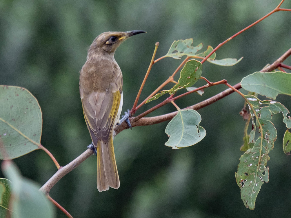 Indonesian Honeyeater - Robert Tizard