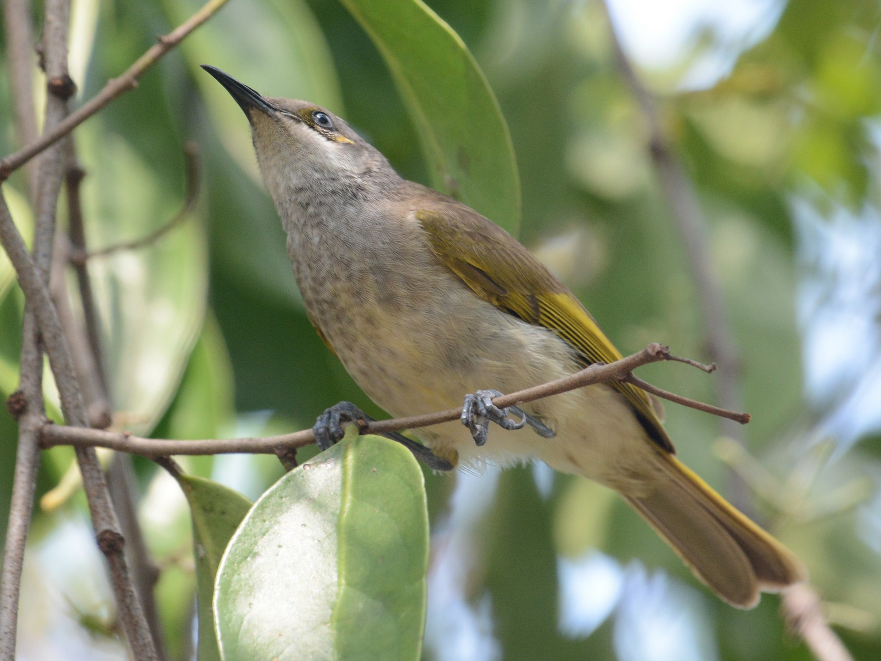 Indonesian Honeyeater - Ari Noviyono