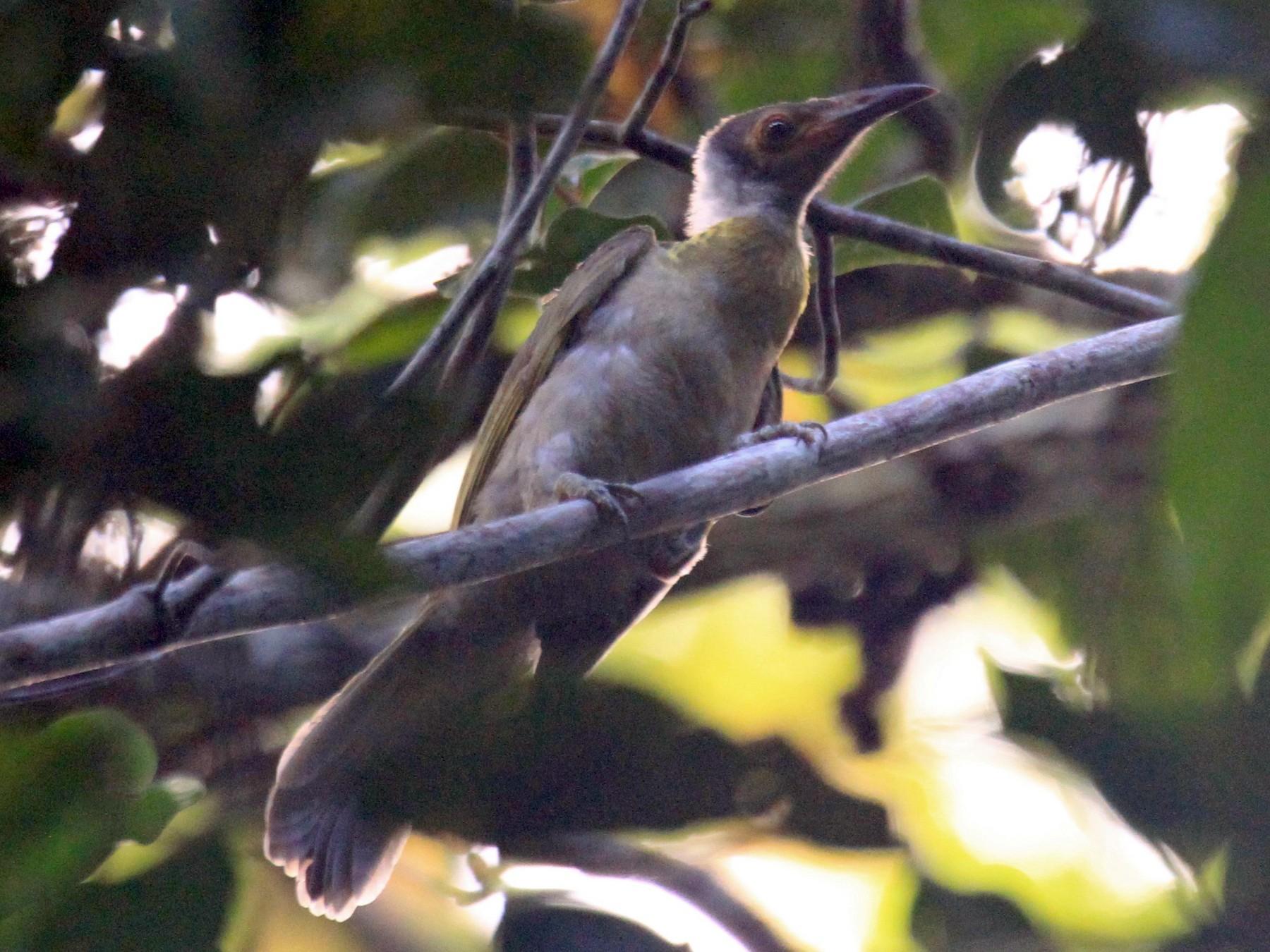 Seram Friarbird - Charles Davies