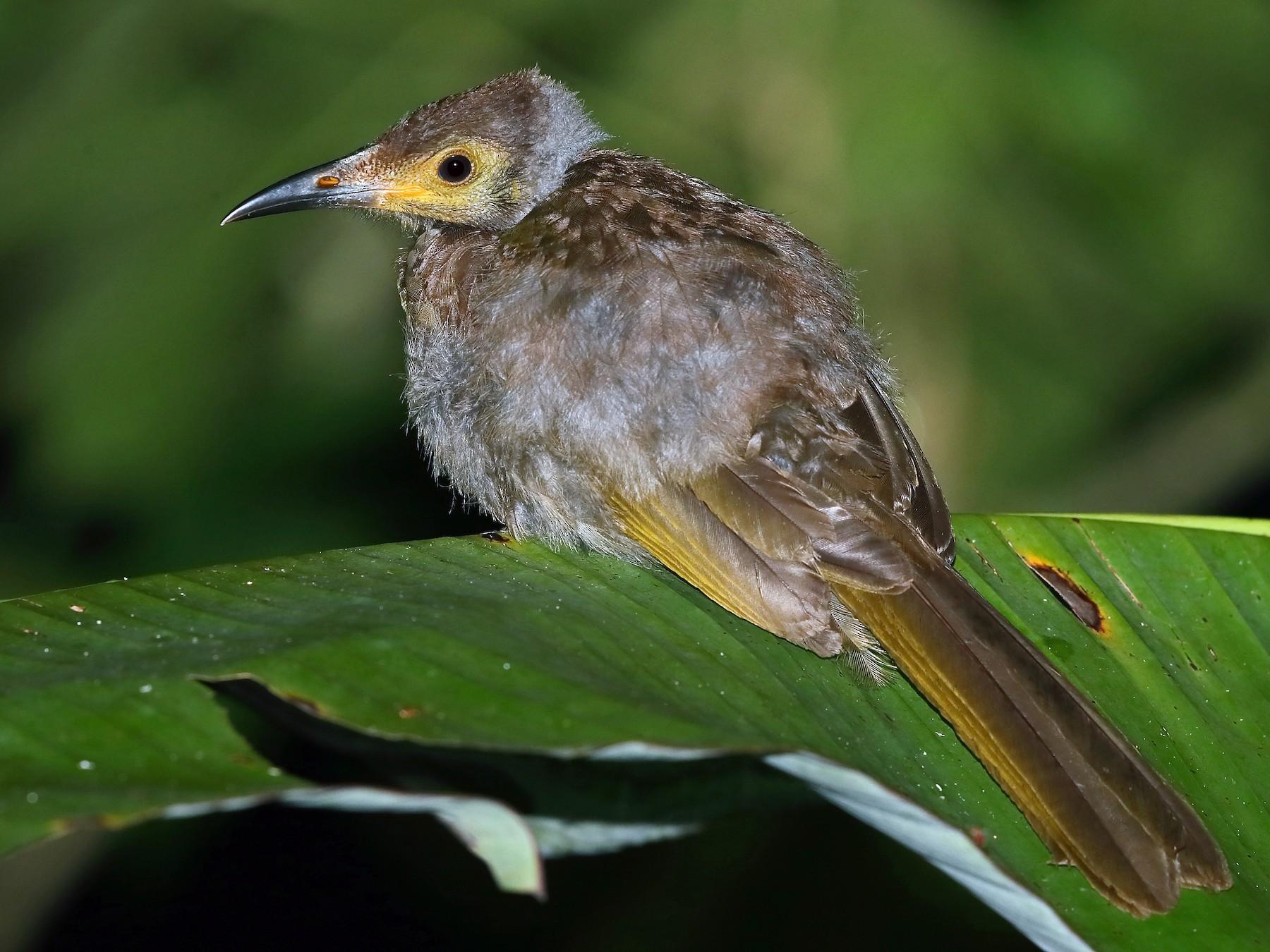 Seram Friarbird - Carlos Bocos