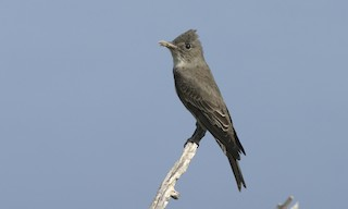 - Olive-sided Flycatcher