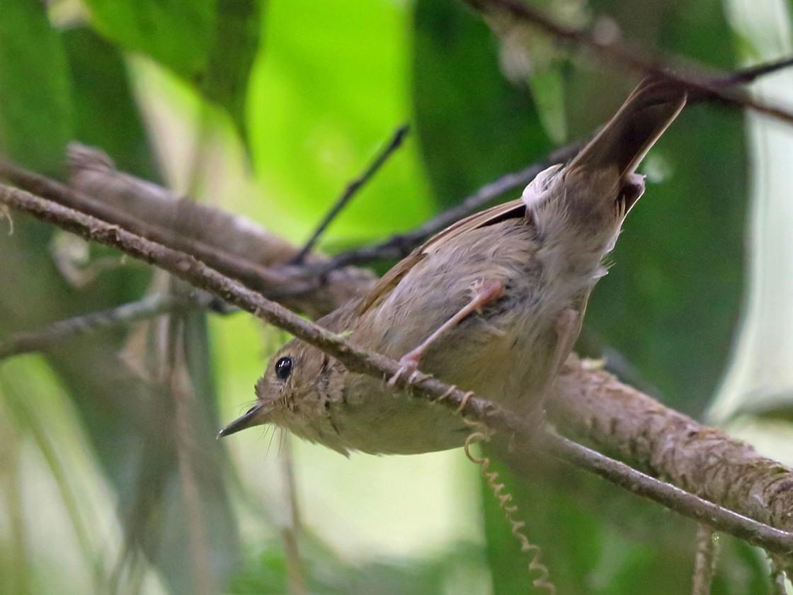 Vogelkop Scrubwren - Nigel Voaden