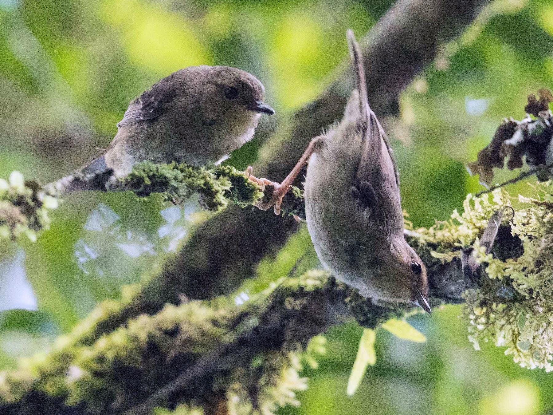 Vogelkop Scrubwren - Eric VanderWerf