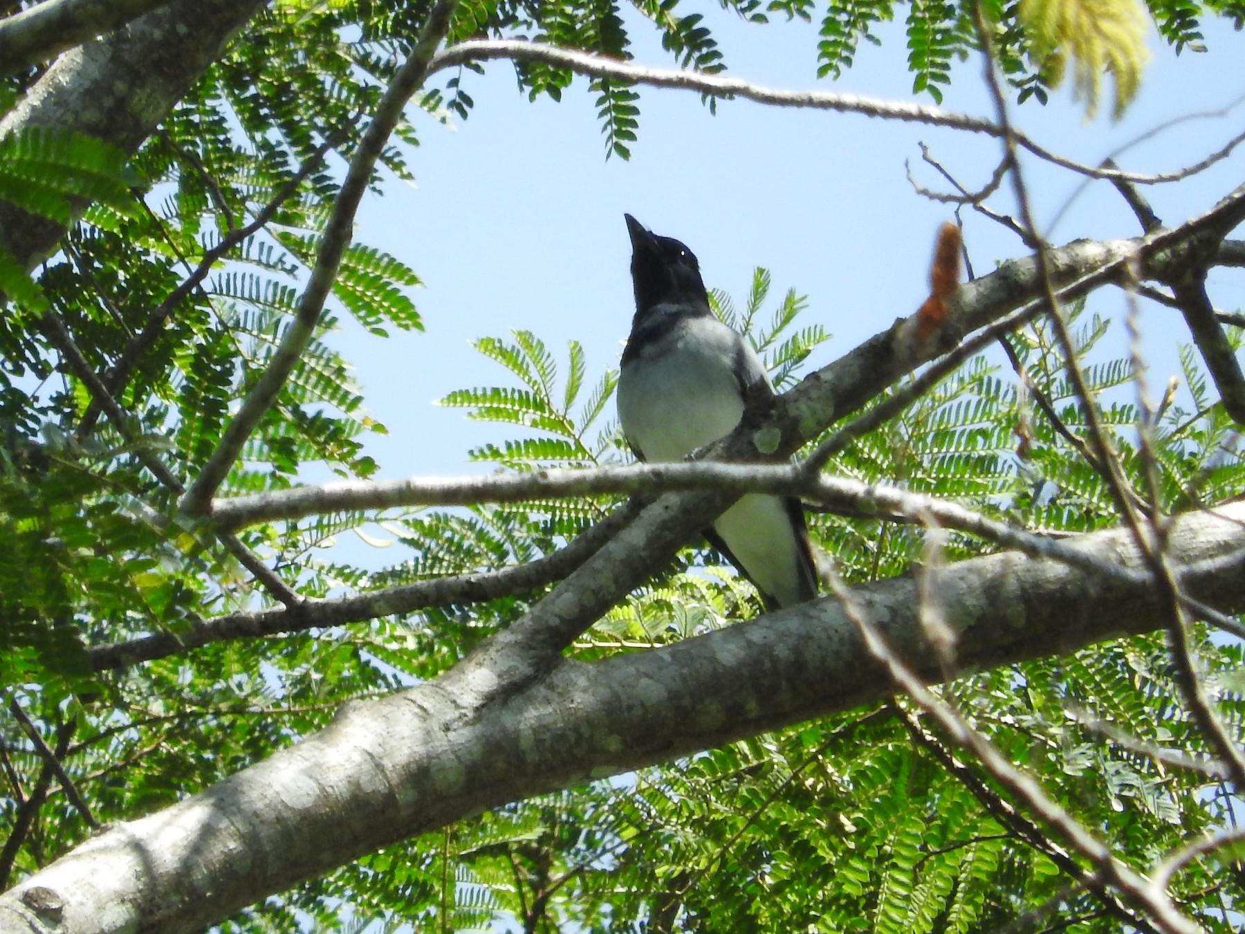Moluccan Cuckooshrike - Pam Rasmussen