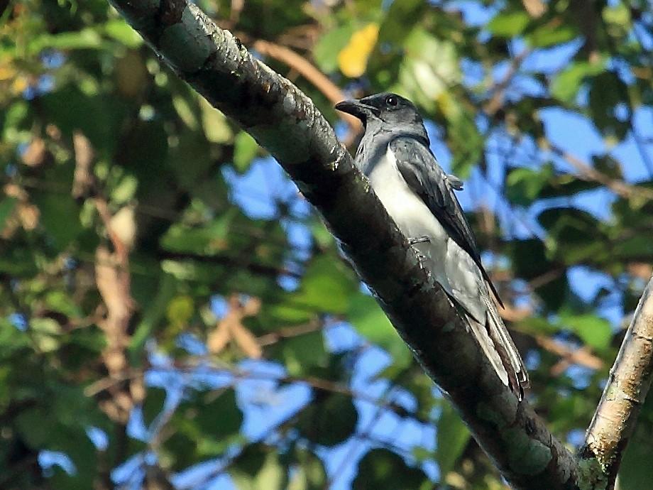 Moluccan Cuckooshrike - Nigel Voaden