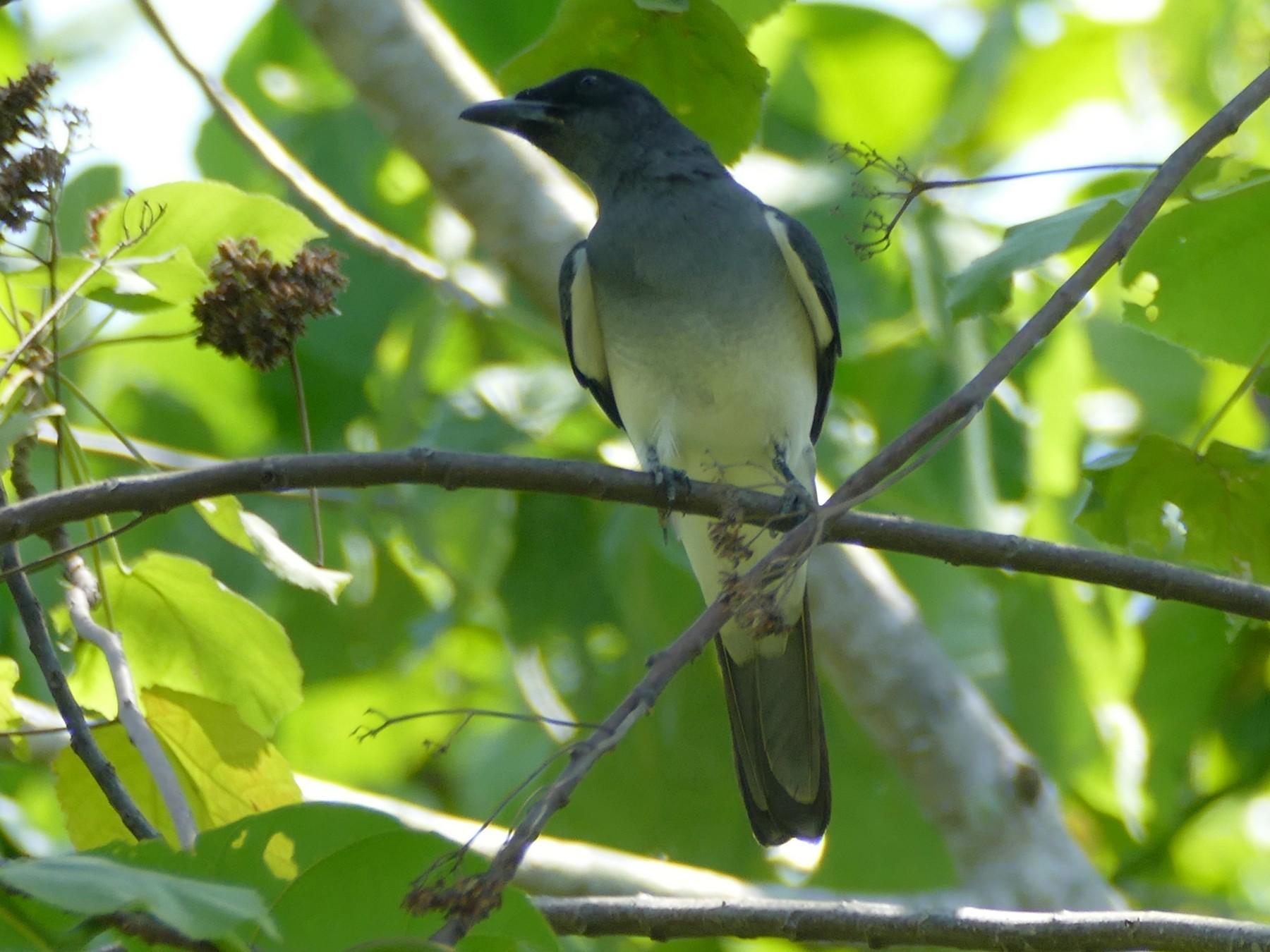 Moluccan Cuckooshrike - Peter Kaestner