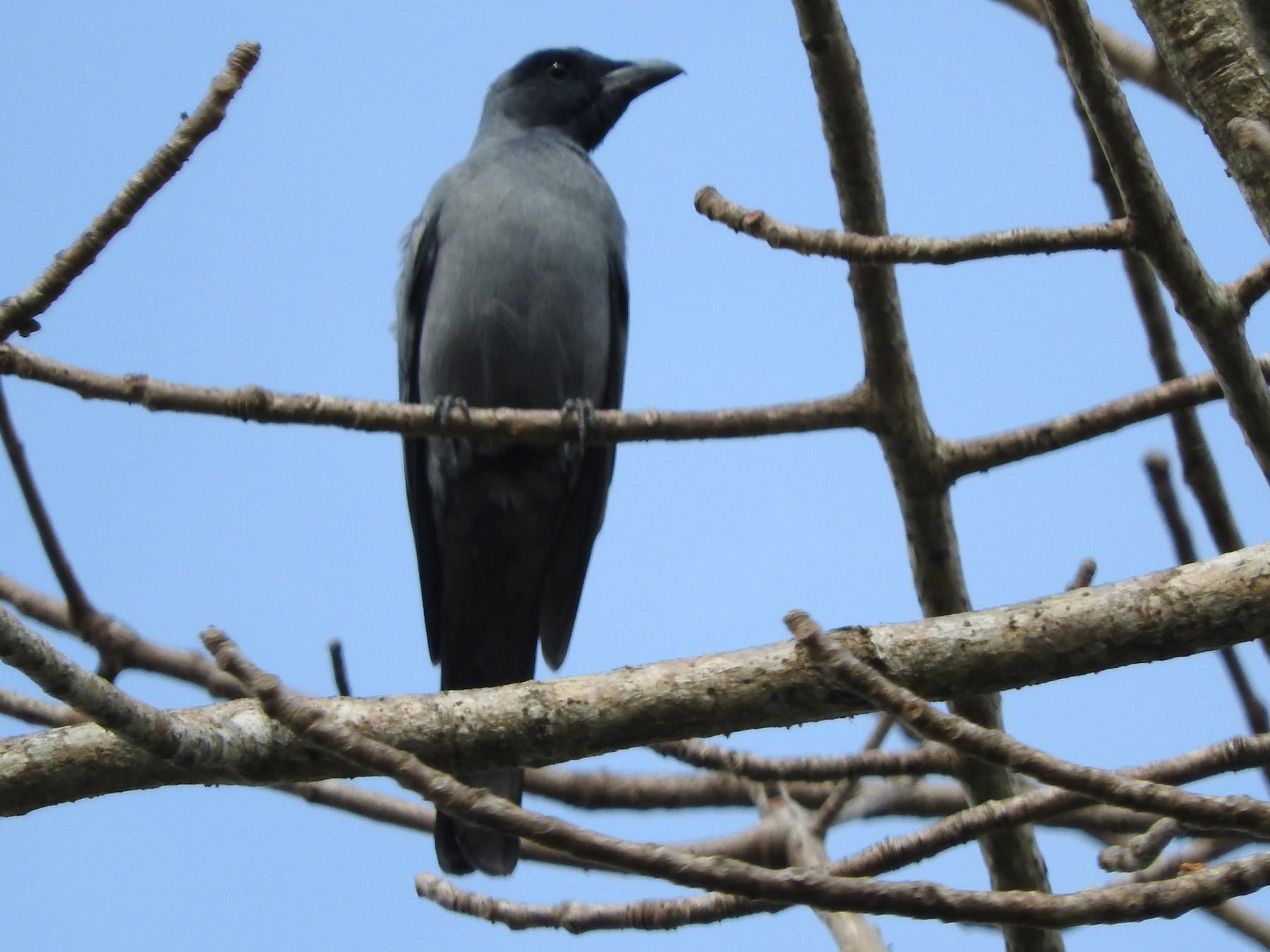 Wallacean Cuckooshrike - Sandy Gayasih