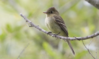 - Pacific-slope Flycatcher