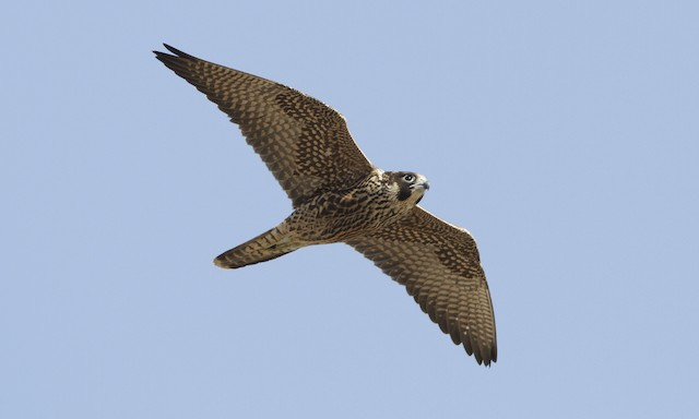 Peregrine Falcon (North American)