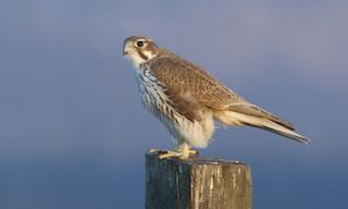 - Prairie Falcon