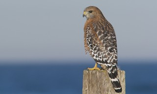 - Red-shouldered Hawk (elegans)