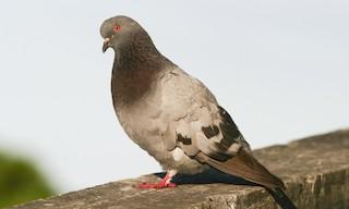 - Rock Pigeon (Feral Pigeon)
