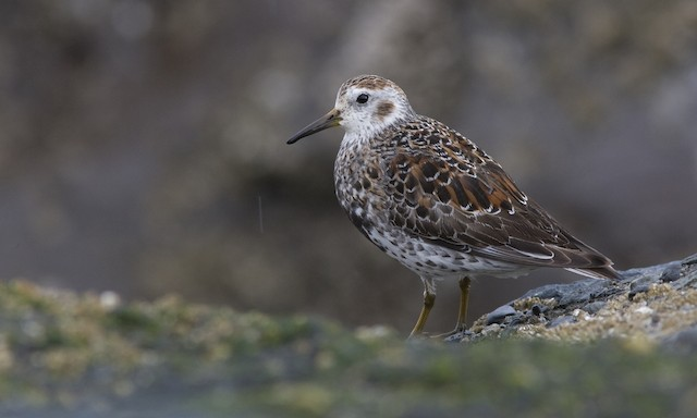 Rock Sandpiper (quarta/tschuktschorum/couesi)